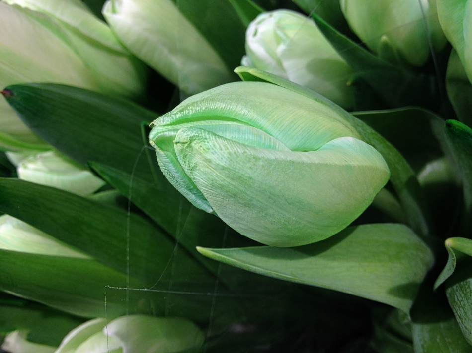Tulips for St. Patrick's Day